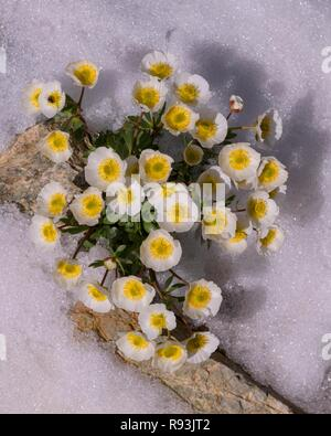 Glacier crowfoot (Ranunculus glacialis), blooming in the snow, Diavolezza, Eastern Alps, Engadin, Switzerland - Stock Photo