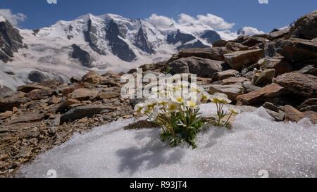 Glacier crowfoot (Ranunculus glacialis), blooming in snowfield, back Piz Palü, Bellavista, Diavolezza, Eastern Alps, Engadin - Stock Photo