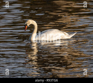 Swans at the Swan sanctuary on the bank of the River Severn in Worcester, UK - Stock Photo
