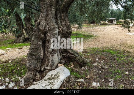 IL Dolmen della Chianca, an imposing megalithic monument dating back to the Bronze Age, immersed in a centuries-old olive grove. - Stock Photo