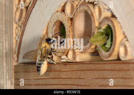 Leafcutter / Rose-cutter bee (Megachile willughbiella) lands at its nest in an insect hotel to provision it with pollen carried on its furry abdomen. - Stock Photo