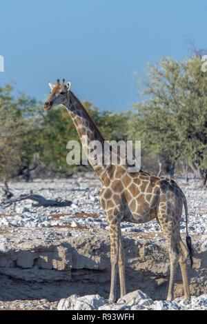 Namibian giraffe (Giraffa camelopardalis angolensis) at watering hole in Namibia, Africa