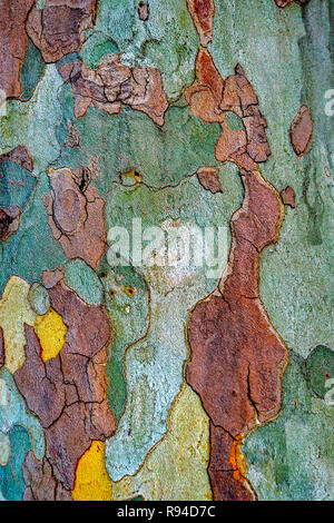 Close up of the peeling colourful bark and trunk of a tree. With a bit of imagination one can almost see a portrait of a lady - Stock Photo