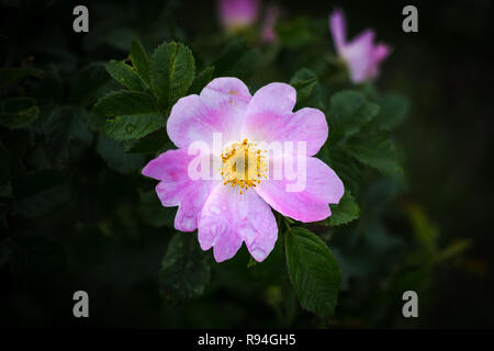 Rosa canina with also known as dog rose has large pink or five petalled flowers - Stock Photo