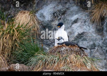 South Georgia, Cooper Bay. Nesting South Georgia shags (Phalacrocorax georgianus) in rocky tussock habitat. - Stock Photo