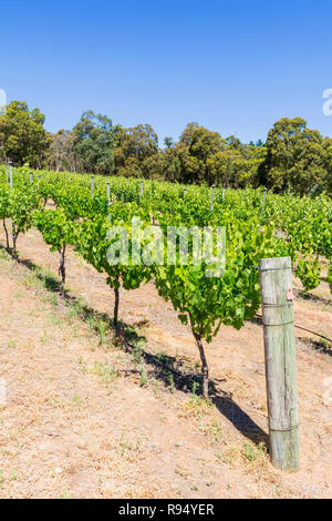 Grapevines at Fairbrossen Winery and Cafe in the Bickley Valley, Carmel, Western Australia - Stock Photo