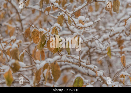 A jumble of snow-covered branches with dry yellow leaves creates a complex winter pattern - Stock Photo