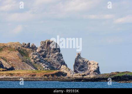 Gannet colony on Ireland's Eye off Howth peninsula, Dublin, Ireland