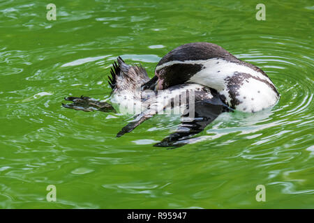 Humboldt penguin / Peruvian penguin / patranca (Spheniscus humboldti) South American penguin preening feathers while swimming - Stock Photo