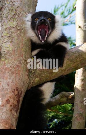 Black & White Ruffed Lemur - Stock Photo