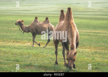 Bactrian camels are native to Central Asia. They have two humps and thirty percent of the population are found in Mongolia. - Stock Photo