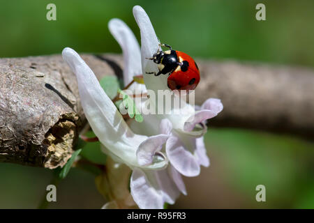 Ladybug insect sitting in the sunlight on a white spring flower, in a lush green meadow - Stock Photo