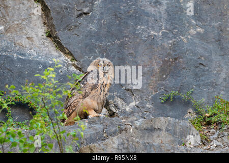 Uhu, Bubo bubo, European eagle owl - Stock Photo