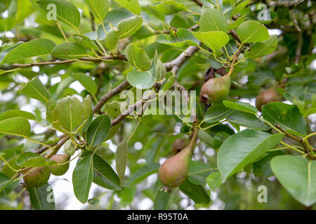 Young unripe pears growing on a pear tree in an organic garden in New Zealand - Stock Photo