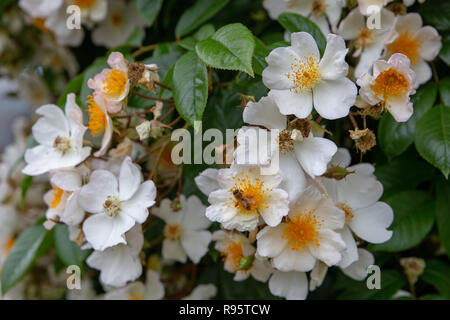 Wedding Day climbing rose is a prolific grower, flowering in huge, fragrant clusters - Stock Photo