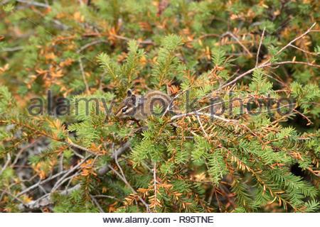 Townsends chipmunk (Neotamias townsendii) in Mountain Hemlock, Carpenter Mountain, HJ Andrews, Willamette National Forest, Oregon, USA - Stock Photo