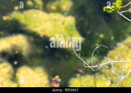 Red dragonfly back sitting on dry tree, bush branch, green leaves in Florida keys marsh, bog, swamp, wetland, blurred, blurry bokeh background, wings - Stock Photo