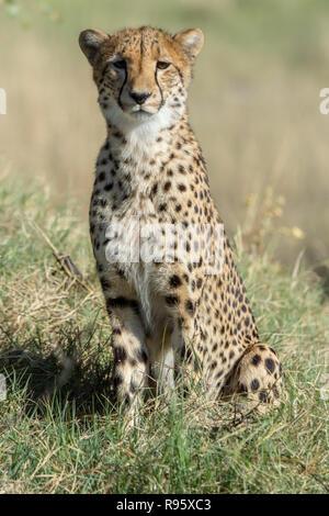 Alert Southeast African cheetah (Acinonyx jubatus jubatus) in Botswana. They are considered Vulnerable. - Stock Photo