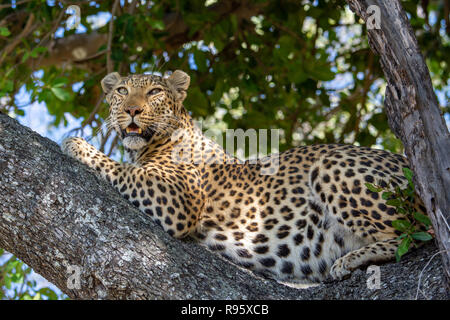 African leopard (Panthera pardus pardus) resting in tree in Botswana. They are on the IUCN Red List and considered Vulnerable. - Stock Photo