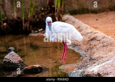African spatula, platalea alba, looking for food in a pond. - Stock Photo