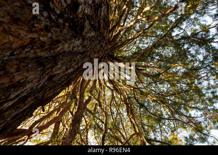 Giant redwood Sequoiadendron giganteum branches photographed from below upwards. Composition of tree trunk and radial branches. - Stock Photo