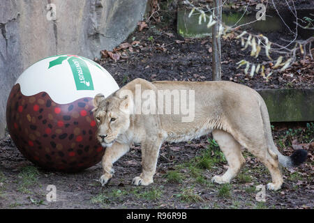 London, UK. 20th December, 2018. One of the Asiatic lionesses Heidi, Indi and Rubi enjoys a 'Christmas pudding', a giant ball scented with classic yuletide spices cinnamon and nutmeg, at ZSL London Zoo gifted by Liontrust, sponsors of the zoo's Land of the Lions. Credit: Mark Kerrison/Alamy Live News - Stock Photo