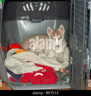 Cute siberian husky puppies in the cage on white background,isolated - Stock Photo
