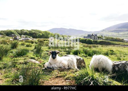 Sheep sitting in field on Isle of Skye, Scotland - Stock Photo
