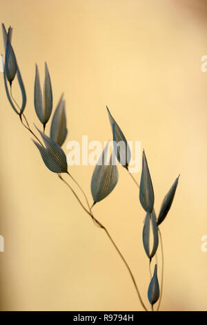 Wild Oat (Avena fatua/sterilis) - Stock Photo