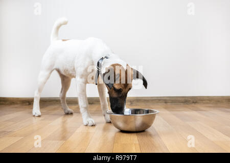 Smooth fox terrier puppy eats from bowl in a room. Cute little dog looking into a bowl for food or water. - Stock Photo