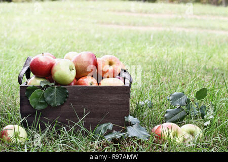 Freshly picked bushel of apples in an old vintage wooden crate with leather handles sitting in the grass at an orchard. - Stock Photo