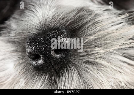 Parti Color Miniature Schnauzer dog nose close-up. Extreme shallow depth of field with selective focus on puppies nose. - Stock Photo