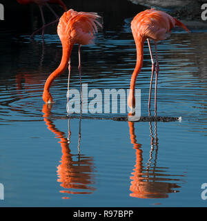 A pair of American Flamingos (Phoenicopterus ruber) lit up by the low January sun and mirrored in the water whilst feeding. - Stock Photo