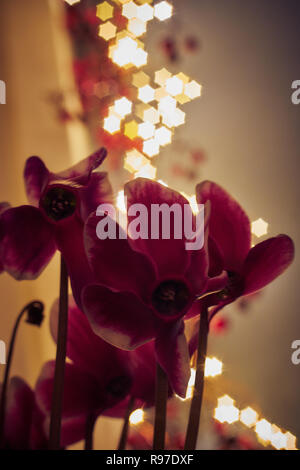 cyclamen at christmas time with christmas lights in background - Stock Photo