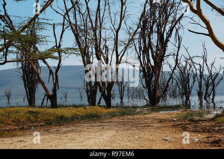 Dead trees at Lake Nakuru. The trees have been dying due to the rising water levels of the Lake, Rift Valley, Kenya - Stock Photo