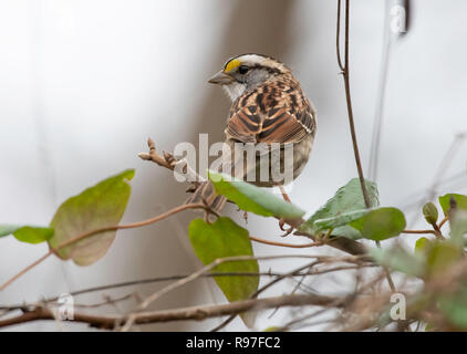 A white-throated sparrow, Zonotrichia albicollis, in the Red River National Wildlife Refuge, in northwest Louisiana. - Stock Photo