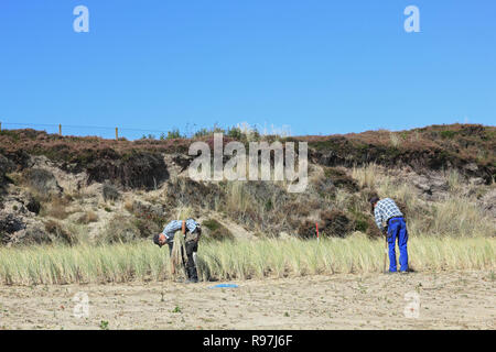 Planting of beach grass to the dune protection - Stock Photo