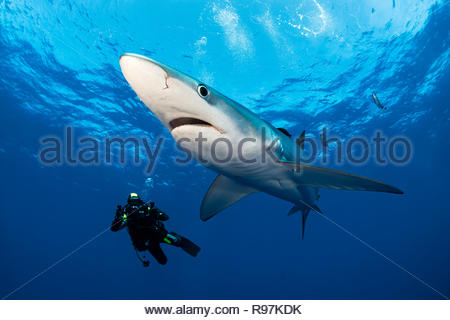 Scuba diver and a Blue shark (Prionace glauca) with pilot fishes (Naucrates ductor), swimming in blue water, Faial, Azores, Portugal - Stock Photo