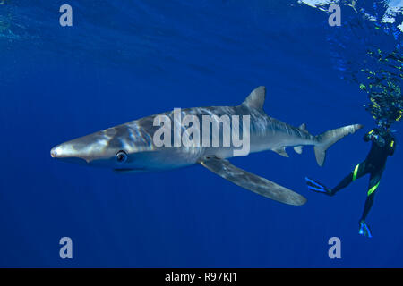Scuba diver and Blue shark (Prionace glauca) in blue water, Faial, Azores, Portugal - Stock Photo