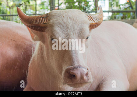 cute white buffalo - Stock Photo