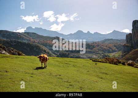 Cow on the grass in the mountains - Stock Photo