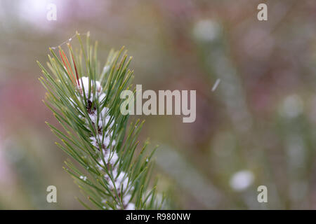 Small branches of a pine tree covered with snow. Fresh snow on the branches in the forest. Season winter. - Stock Photo