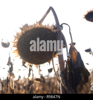 Silhouette of dried up sunflower field, Auvergne, France, Europe - Stock Photo