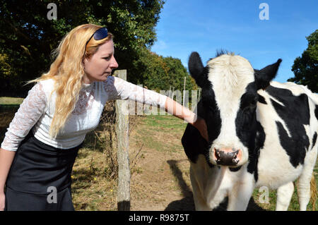 A cow heifer, dairy cow breed with a blond woman. Animal welfare with a woman farmer. - Stock Photo
