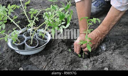 gardener's hands  holding a tomato seedling before the planting in the vegetable garden - Stock Photo