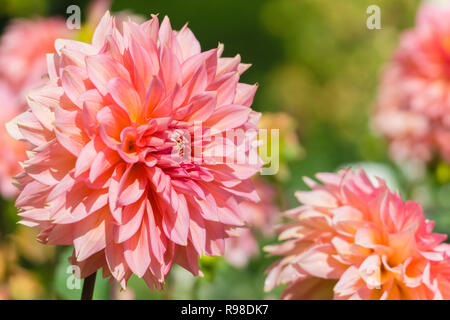 Close-up of a Pink Cactus Dahlia (Asteraceae) on a sunny Day. - Stock Photo