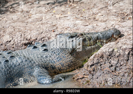 Large salt water crocodile resting at the rivers edge, Katherine River, Northern Territory Australia - Stock Photo