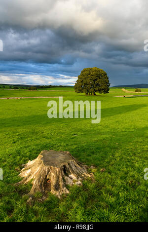 Scenic rural scene of trees (copse) standing in field under dramatic dark grey cloudy sky before storm - near Malham, Yorkshire Dales, England, UK. - Stock Photo