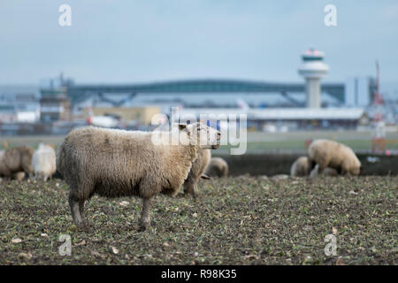 A sheep bleats whilst grazing on land where a new second runway is proposed to be built at London Gatwick Airport, near Crawley, West Sussex, UK. - Stock Photo