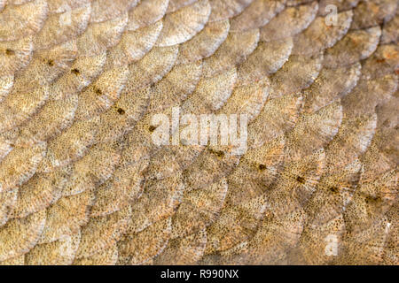 Scales and the lateral line of Common bream fish. - Stock Photo
